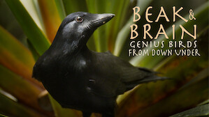 Beak & Brain: Genius Birds From Down Under